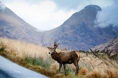 苏格兰鹿 免版税库存图片