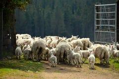 苏格兰绵羊 免版税库存图片