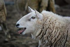 苏格兰绵羊 库存图片