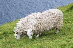苏格兰绵羊 免版税库存照片