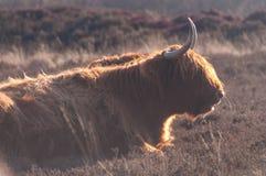 苏格兰higland母牛 免版税库存照片