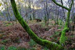 苏格兰Mossed Forrest 免版税图库摄影