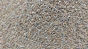 紫苏种子 免版税库存图片