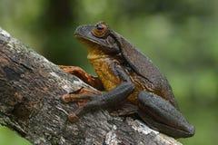 苏里南金黄目的雨蛙 库存照片