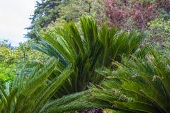 苏铁属Revoluta植物在索契Dendrarium在春天 图库摄影