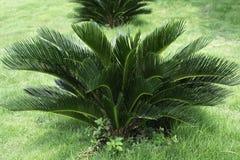 苏铁属Revoluta,种植在草庭院里 免版税库存图片