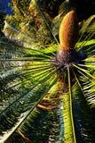 苏铁属revoluta (西米苏铁科的植物) -植物园丰沙尔 库存照片