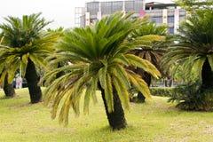 苏铁属revoluta (西米苏铁科的植物) 免版税库存图片