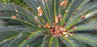 苏铁目常青树离开与被困住的其他干燥棕色叶子在它的中心 库存图片