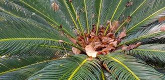 苏铁目常青树离开与被困住的其他干燥棕色叶子在它的中心 免版税库存图片