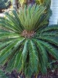 苏铁科的植物冲洗 库存照片