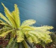 苏铁科的植物冲洗 图库摄影