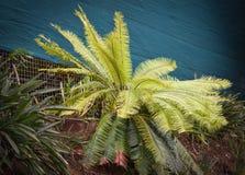 苏铁科的植物冲洗 免版税库存照片