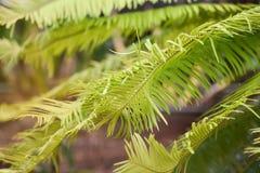 苏铁科的植物冲洗 库存图片