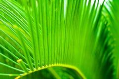 苏铁科的植物叶子 免版税库存图片