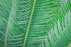 苏铁科的植物叶子 库存照片