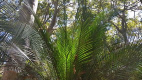 苏铁科的植物和澳大利亚当地玉树植被 股票录像