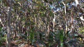 苏铁科的植物和澳大利亚当地玉树植被 股票视频