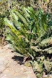 苏铁科的植物在比勒陀利亚,南非 免版税库存图片