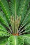 苏铁科的植物掌上型计算机(苏铁属) 免版税库存图片