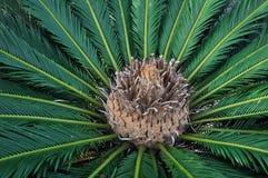 苏铁科的植物日语 免版税图库摄影