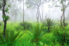 苏铁科的植物棕榈树在有薄雾的森林里 免版税库存图片