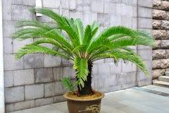 苏铁科的植物棕榈树 库存图片