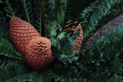苏铁科的植物植物美丽的射击  库存图片