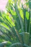 苏铁科的植物植物 免版税库存照片