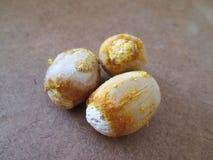 苏铁科的植物种子 库存照片