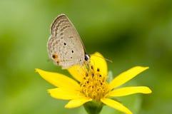 苏铁科的植物蓝色蝴蝶 免版税库存照片