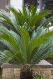 苏铁科的植物西米,苏铁属revoluta 库存照片