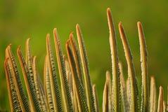 苏铁科的植物离开海角 库存照片