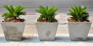 苏铁科的植物 免版税图库摄影