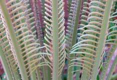 苏铁科的植物 库存图片
