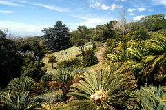 苏铁科的植物Ampitheater在Kirstenbosch植物园里 免版税库存照片