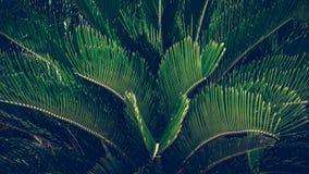 苏铁科的植物plam树植物、苏铁科的植物植物或西米plam绿色叶子  库存照片