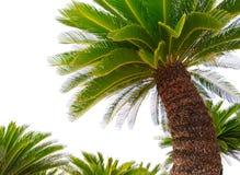 苏铁科的植物plam树植物绿色叶子隔绝了白色背景 免版税图库摄影