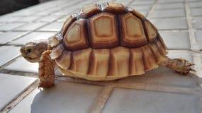 苏门答腊乌龟 库存照片
