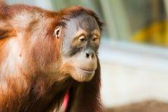 苏门答腊猩猩A 免版税库存照片