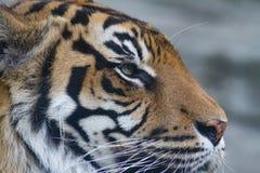 苏门答腊老虎特写镜头顶头侧视图  免版税图库摄影