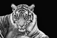苏门答腊老虎画象在黑白的 免版税库存照片