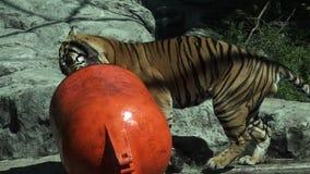 苏门答腊老虎(豹属底格里斯河sumatrae)运载一个浮体 股票视频