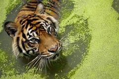 苏门答腊老虎 免版税图库摄影