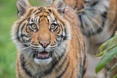 苏门答腊虎犊愉快的神色 免版税库存照片