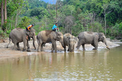 苏门答腊` s大象 库存照片