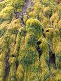 苔藓植物 免版税库存图片