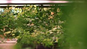 苗圃植物农场 盘子的年幼植物准备好种植 植物生长 影视素材