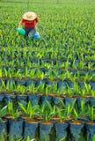 苗圃油棕榈树 免版税库存图片