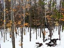 苗条树在冬天 免版税库存照片